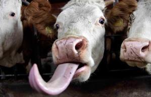 cow-tongue_1501533i