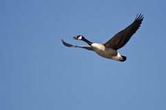 goose-flying-blue-sky-clear-39343992