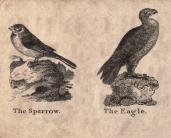 Sparrow Eagle